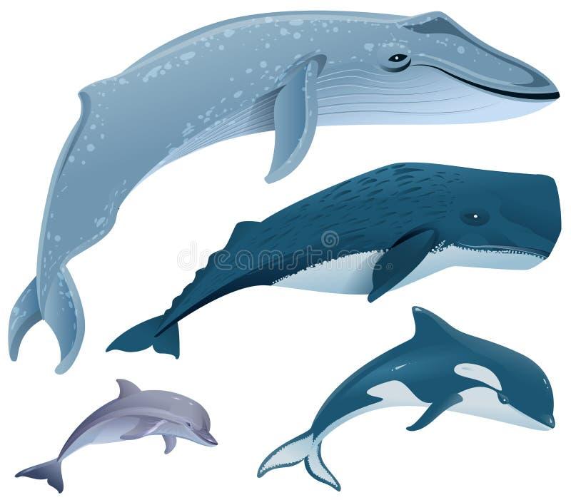Mamíferos marinos determinados Ballena azul, ballena de esperma, delfín, orca libre illustration