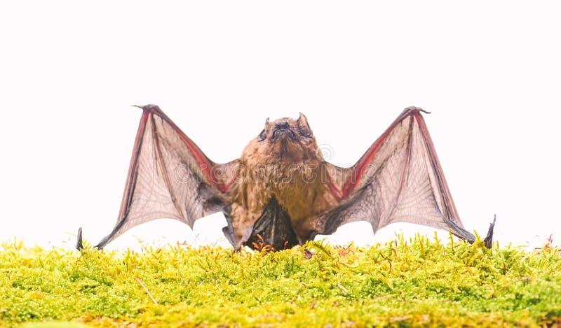 Mam?feros naturalmente capazes do voo verdadeiro e sustentado O bast?o emite-se o som ultrass?nico para produzir o eco Detector d fotografia de stock