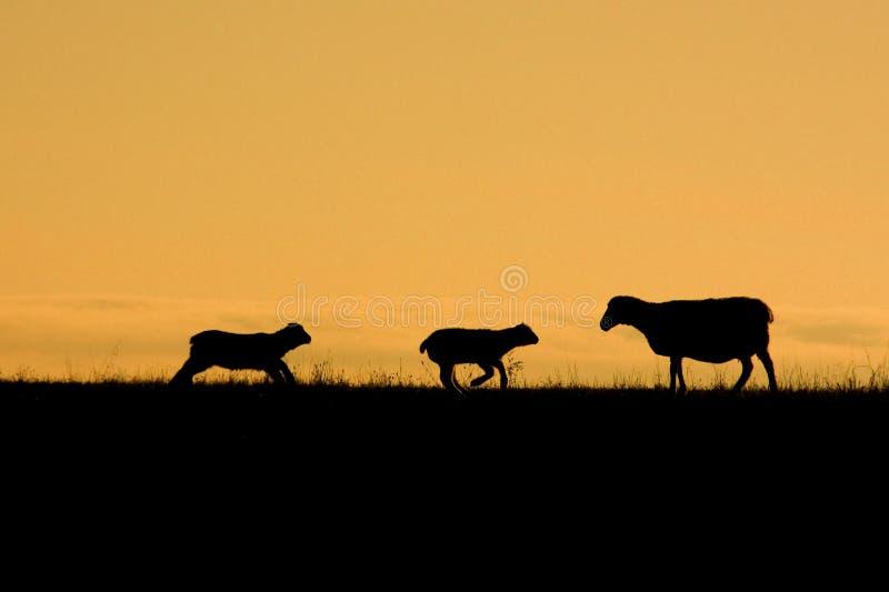 Mam3a Sheep y corderos imagen de archivo libre de regalías