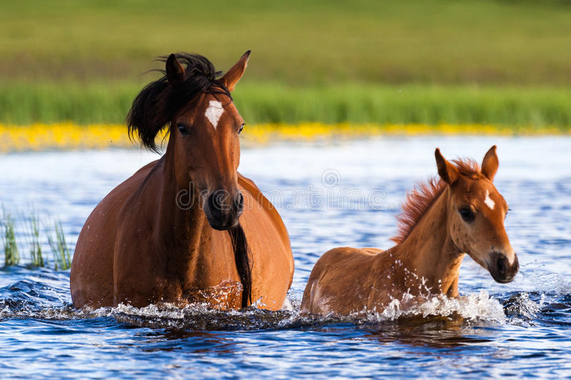 Mama and Baby horses walking in lake stock images