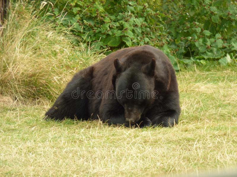 MAMA BEAR HAVING A SNACK. Bears are carnivoran mammals of the family Ursidae. They are classified as caniforms, or doglike carnivorans stock photography