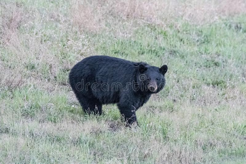 Mama bear out for a strool. Female black bear , looks around then goes on about her business . Northern Alberta , Canada stock photo