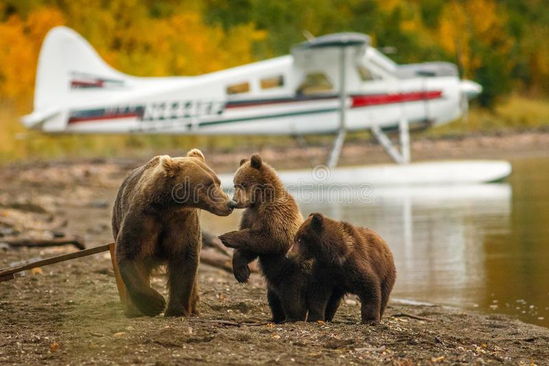 Mama bear walking with her two cubs on the beach of Naknak lake, Alaska stock photos