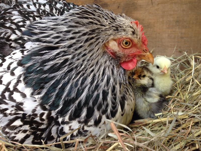 Mama and chicks. Mama Cochin hen with her two baby chicks royalty free stock photo