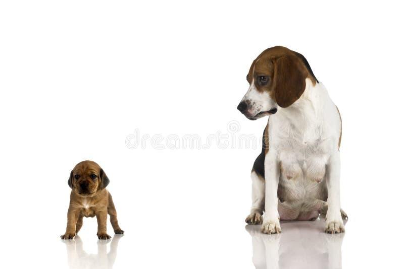 Mama del beagle y un perrito marrón imágenes de archivo libres de regalías