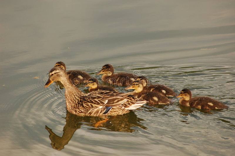 Download Mama Duck with Baby Ducks stock photo. Image of babies - 5379040
