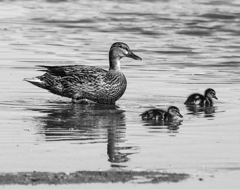 Mama duck and ducklings royalty free stock photography