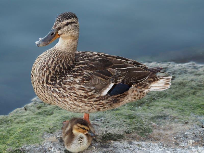 Mama i kaczątko odpoczywa na brzeg zdjęcia stock