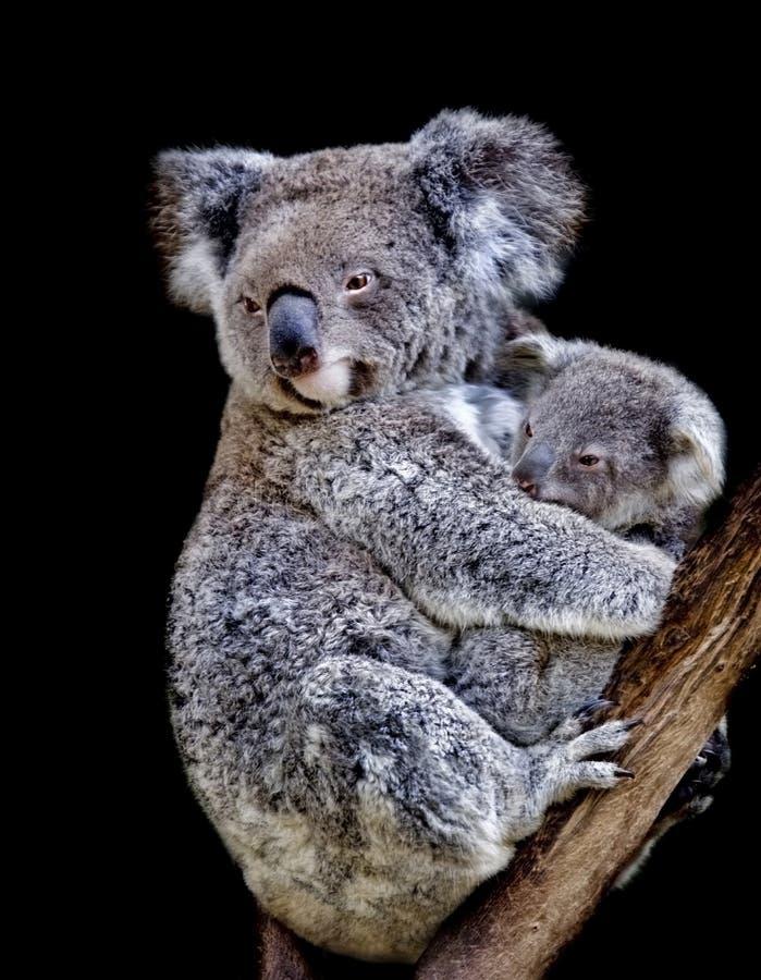 mama koali obraz stock