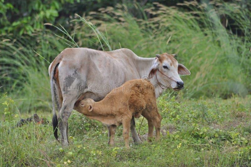 Mama Kuh und ihr Neugeborenes lizenzfreie stockfotos