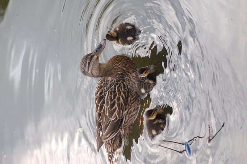 Mama Pato com patos do bebê fotos de stock