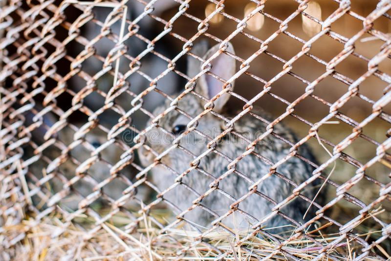 Sad rabbits wich sit behind a rusty grating in a cagethe bars, blurred frame. Concert Eco-meat. stock images