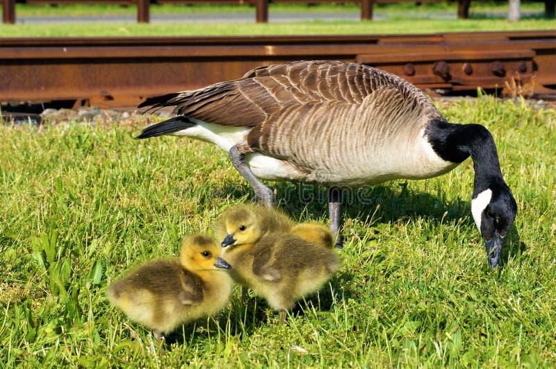 Maman canadienne d'oie pinçant l'herbe avec 3 bébés prenant un bain de soleil tout près Un poussin se cache derrière les autres image libre de droits