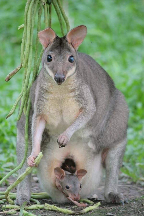 maman de kangourou de joey image stock