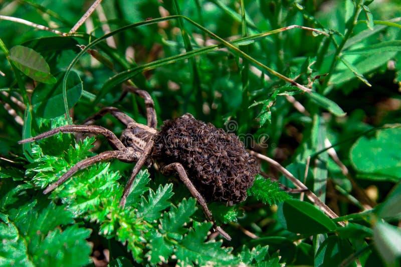 Maman de Wolf Spider avec des bébés là-dessus abdomen du ` s image stock