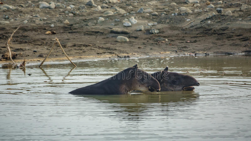 Maman et bébé sauvages de tapir à l'intérieur d'étang photos stock