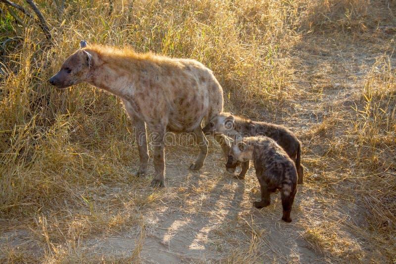 Maman et CUB 7430 d'hyène images stock