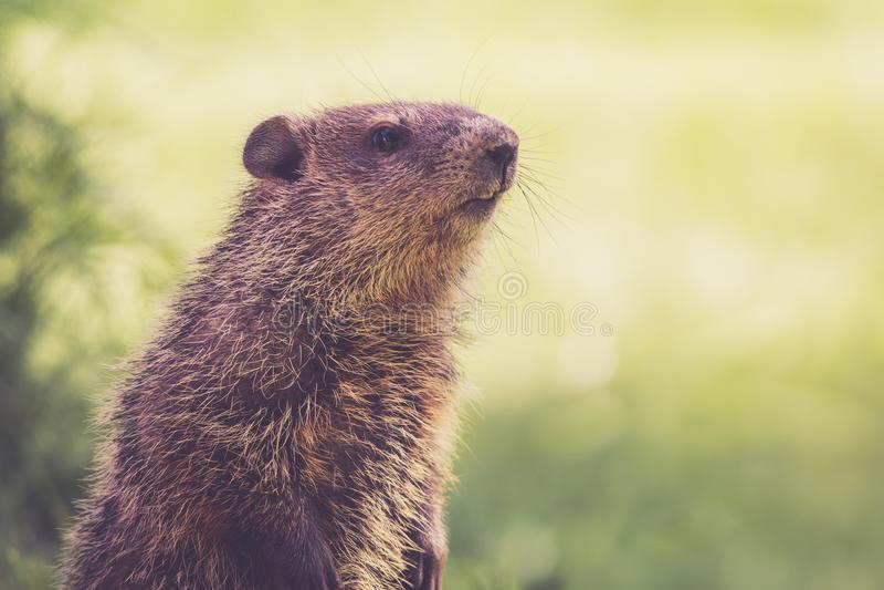 Maman Groundhog maintient un oeil attentif un matin de ressort dans l'herbe verte images libres de droits