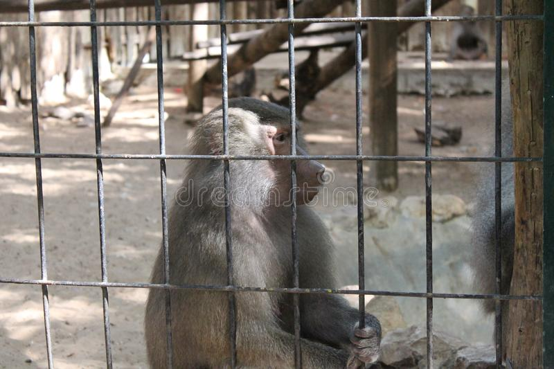 Maman triste de Macaque de singe photo stock