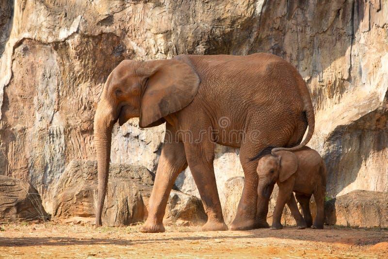 Mamando o elefante africano do bebê com mum imagem de stock