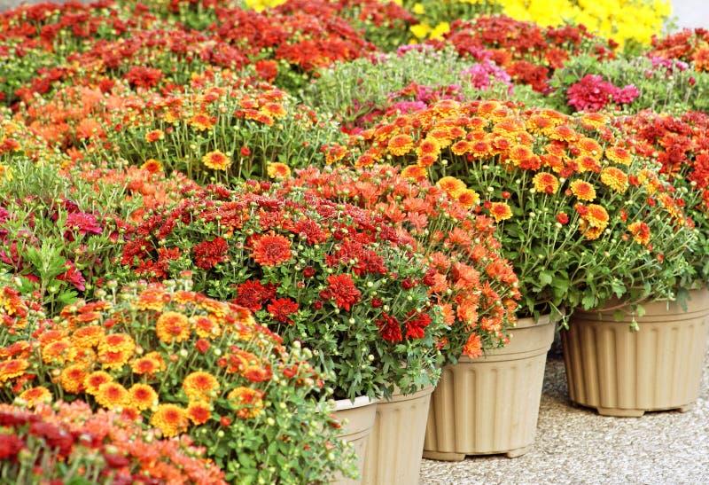 Mamans colorées de jardin à vendre photographie stock libre de droits