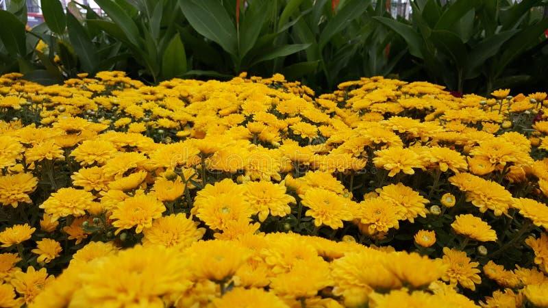 Mamans jaunes de Chrysantemum/jardin photographie stock libre de droits