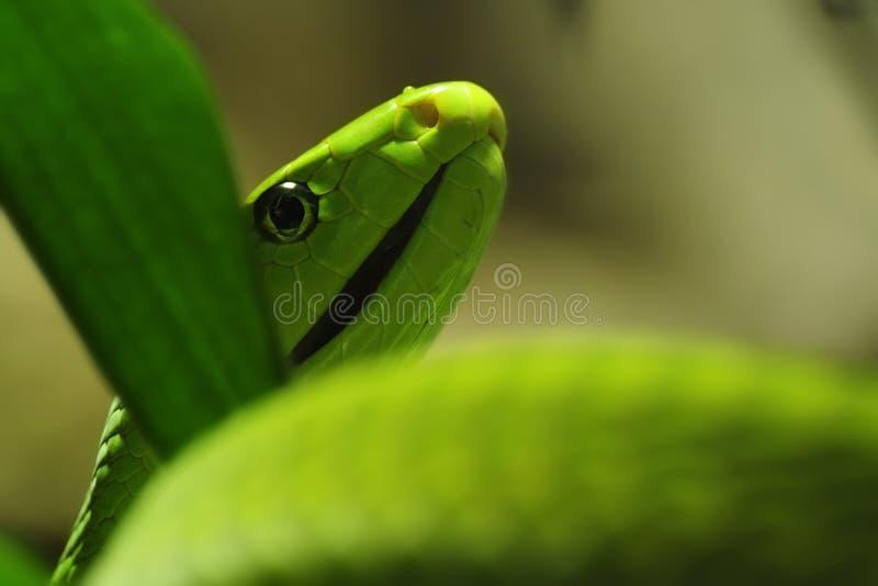Mamba verde (angusticeps do Dendroaspis) imagem de stock