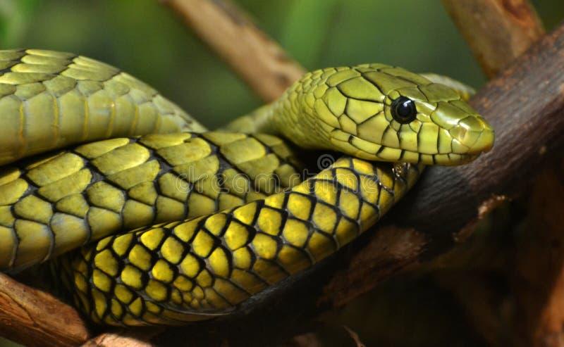 Mamba verde (angusticeps do Dendroaspis) foto de stock