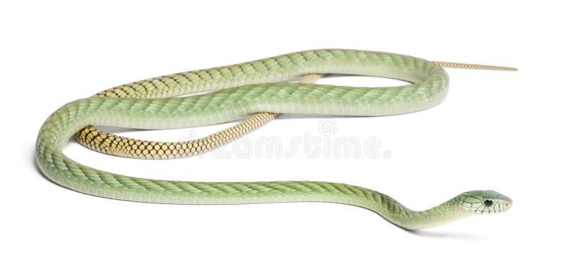 Mamba verde occidentale - viridis del Dendroaspis fotografia stock libera da diritti