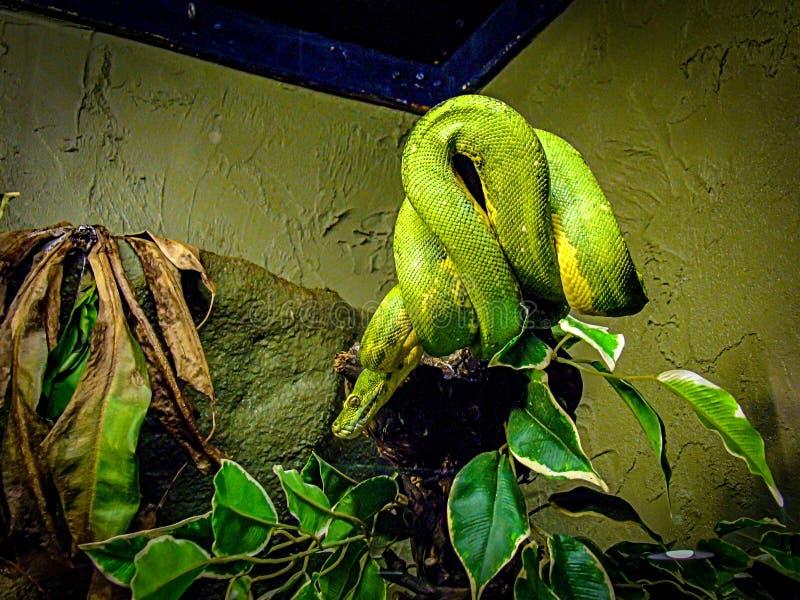 Mamba verde oriental fotografia de stock