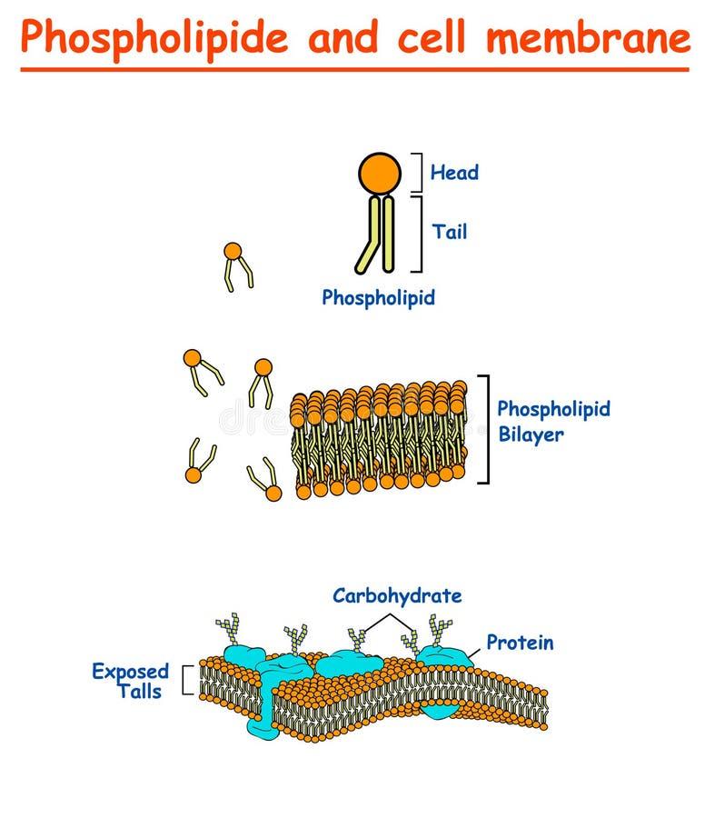 Mambrains de Phospholipides e de pilha Gráfico da informação do diagrama da estrutura da membrana de pilha no fundo branco isolad ilustração stock