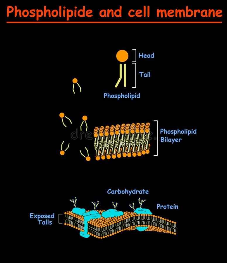 Mambrains de Phospholipides e de pilha Gráfico da informação do diagrama da estrutura da membrana de pilha no fundo branco isolad ilustração do vetor