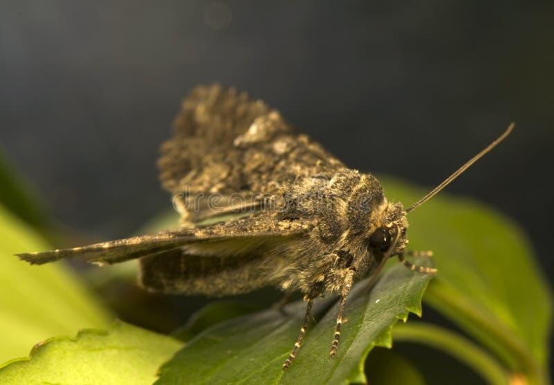Mamestra brassicae stockfoto