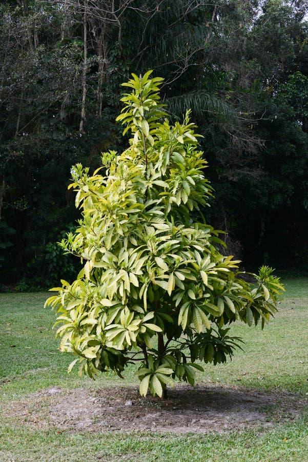 Mamey sapote drzewo zdjęcia royalty free