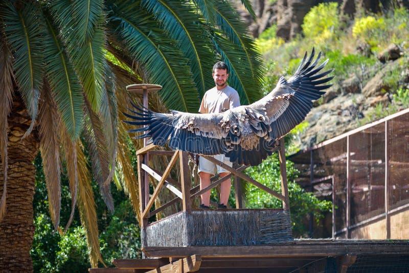 MAMIE CANARIA, ESPAGNE - 10 mars 2017 - vautour dans le vol gratuit au parc Maspalomas, mamie Canaria, Espagne de Palmitos photo libre de droits