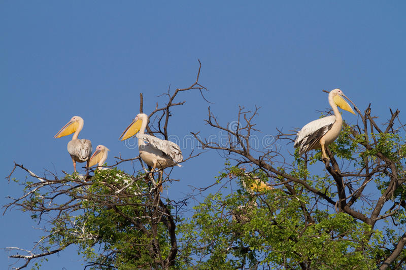 Mamili pelicans stock photo