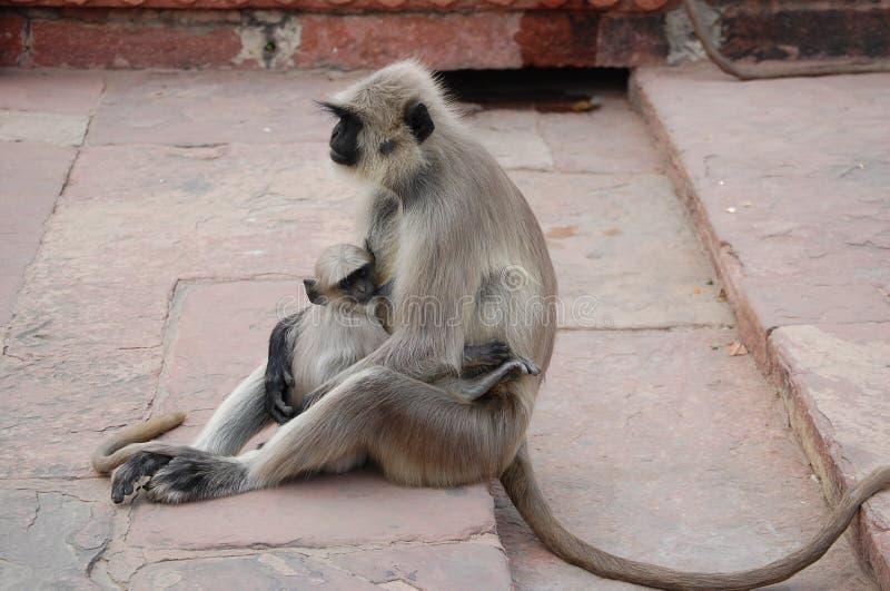 Mamma della scimmia immagine stock