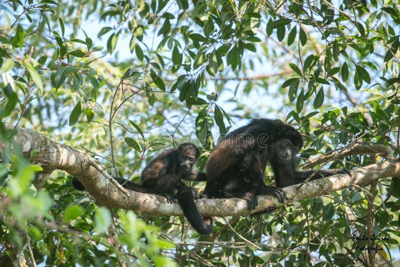 Mamma della scimmia del Congo ed il suo bambino immagini stock libere da diritti