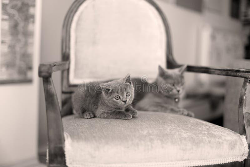 Mamma di Britannici Shorthair ed il suo gattino che si siedono sulla poltrona fotografie stock libere da diritti