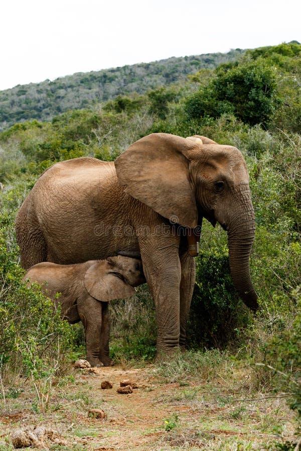 Mamma e bambino - elefante di Bush dell'Africano immagine stock libera da diritti