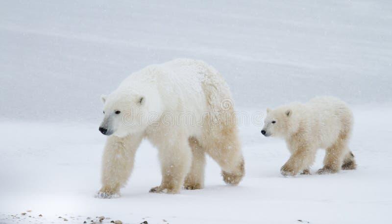 Mamma e cucciolo dell'orso polare che camminano sul ghiaccio immagine stock