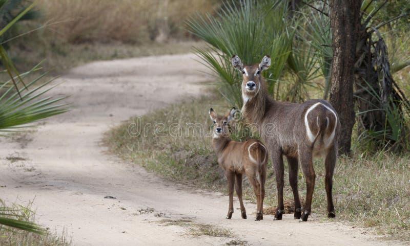 Mamma en baby Waterbuck royalty-vrije stock foto's