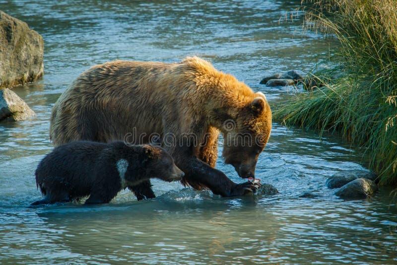 Mammabjörn med hennes lilla gröngölingfiske i den Chilkat floden i Haines, Alaska, USA fotografering för bildbyråer
