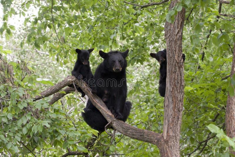 Mammabjörn och två gröngölingar arkivfoto
