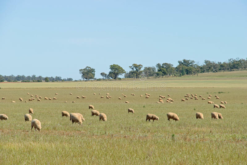 Mammal. Crossbred ewes grazing in paddock with blue sky royalty free stock images