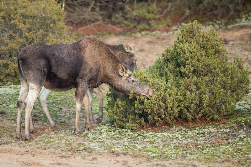 Mammal - bull moose Alces. A moose walking in the forest scenery royalty free stock photo