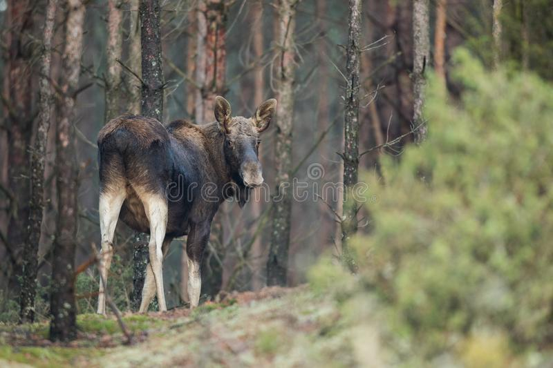 Mammal - bull moose Alces. A moose walking in the forest scenery stock images