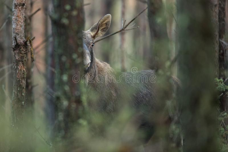 Mammal - bull moose Alces. A moose walking in the forest scenery stock photos