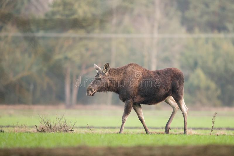 Mammal - bull moose Alces. A moose walking in the forest scenery stock image
