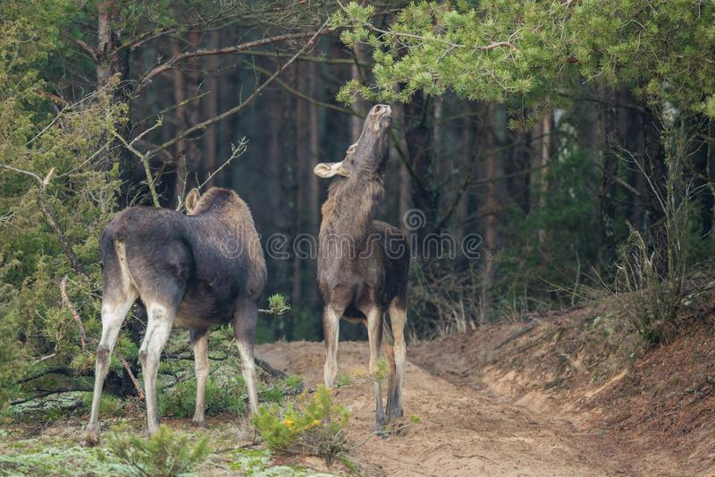 Mammal - bull moose Alces. A moose walking in the forest scenery stock photo